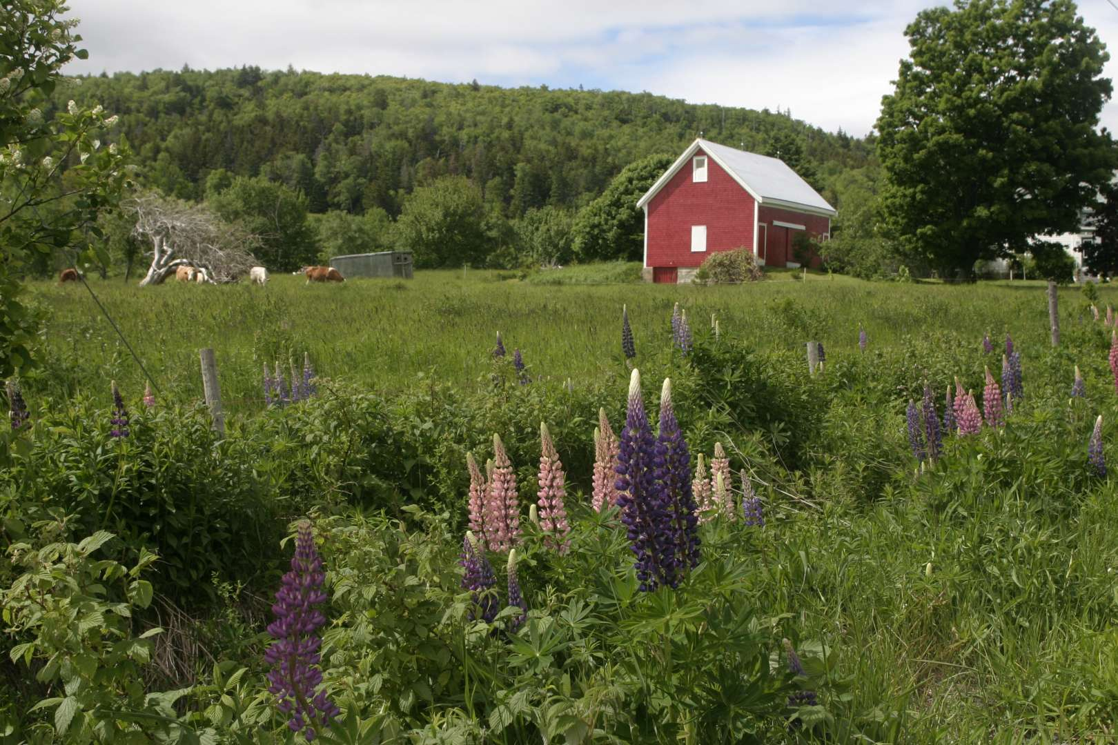 Lupins in bloom are seem in thei images near Blomidon Park in Nova Scotia, Annapolis Valley, an area rich in farming.