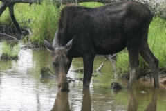 Moose_NovaScotia